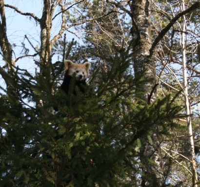 Or red panda!
