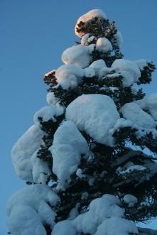 Snow piles on the trees (tykky in finnish)