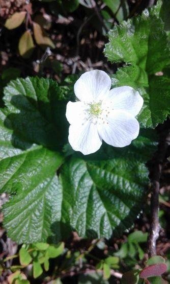 Cloudberry flower