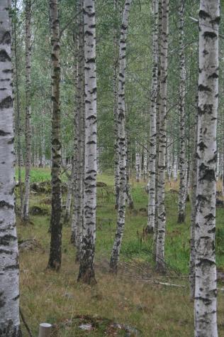 Birches of Väisälänmäki